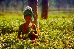 Feuilles de thé http://la-malle-a-the.fr/culture-et-fabrication-du-the/  #thé #fabricationthé #plantationthé #originethé #théqualité #thés #culturethé