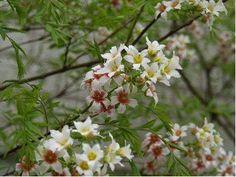 Xanthoceras sorbifolium 4x4 bl 5 nootjes