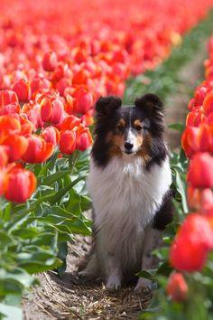 Sheltie in the Tulip fields