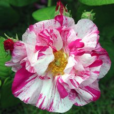 Rosa Mundi by Buspass, via Flickr