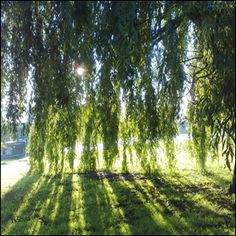 Some of my most fond memories are of playing 'neath my grandparent's willow tree...