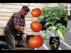 POMIDORY trzeci krok - SADZENIE - YouTube Make It Yourself, Vegetables, Youtube, Gardening, Tomatoes, Garden Paths, Lawn And Garden, Vegetable Recipes, Youtubers
