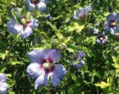 Hibiscus Syriacus Viola Variegato
