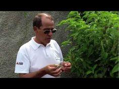 A alfavaca é uma erva com propriedades medicinais muito peculiares, que podem ajudar no combate a males como a depressão. Esta planta é também bastante sabor...