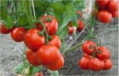 Πώς να καλλιεργήσετε ντομάτες στο σπίτι σας