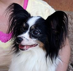 Annette is an adoptable Papillon Dog in Carrollton, TX. Annette is a 5 year old Papillon. Her owner passed away and none of the family members wanted to care for Annette so they left her in the vacan...