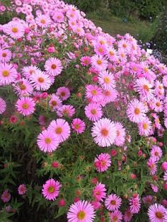 Aster novae-angliae 'Rosa Sieger', common name is the same. Perennial, full sun, blooms late Summer into Fall. Garden Flower Beds, Flower Garden, Aster Flower, Plants, Beautiful Flowers, Yellow Perennials, Full Sun Plants, Perennials, Landscaping With Rocks