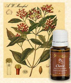 How to use e/c clove oil