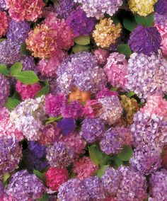 Hydrangiss Babyiss (Rare Bloom) by Anne Geddes