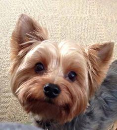 ~ Daily Dose of Cuteness ~ My Yorkie Otis (Shared by Juanita Hayward) #DogoftheDay http://aboutmorkies.com Follow us: Facebook.com/YorkiesMorkiesMaltese Twitter.com/morkienation   #dog #doglovers #animals #pets #yorkies #yorkie #yorkielovers #petlovers #dogowners #puppy #adorablepets #sillydogs #smallanimals #instadogs #instayorkie #instapuppy #instaanimals #petsofinstagram #dogsofinstagram #yorkieofinstagram #puppylove