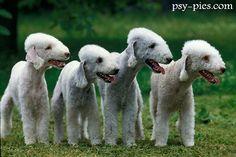Bedlington Terrier | Bedlington terrier - dodatkowe zdjęcia: