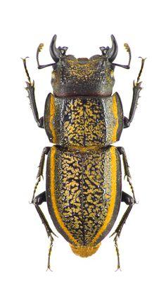 Pycnosiphorus caelatus