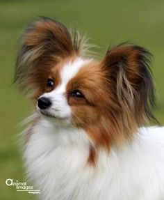 The Pure Breed Dogs of Australia Papillion Puppies, Cute Puppies, Dogs And Puppies, Animals And Pets, Cute Animals, Pet Memorials, Pet Dogs, Doggies, Little Dogs