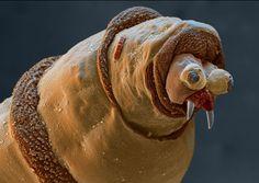 Maggot's face under an electron microscope - It looks like a walrus omg