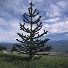 Identify and manage the mysterious Monkey Puzzle tree and learn how unique the tree is. It has a broad range to grow but is native to just a small spot in South America.