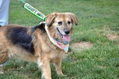 Meet Louise, an adopted Golden Retriever & Shepherd Mix Dog, from PawPrints Animal Rescue in Florence, KY on Petfinder. Learn more about Louise today. Shepherd Mix Dog, Animal Rescue, Adoption, Meet, Dogs, Animals, Foster Care Adoption, Animales, Animaux