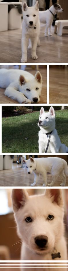 LOVE white huskys with the light eyes. Ugh this guy will def be on our future farm when I foster dogs :)