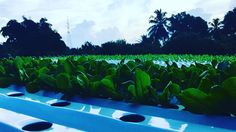 Join towards a Future Farms, We Are Young, Healthier You, The Republic, Lettuce, Trinidad And Tobago, Join, Gardens, Journey