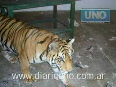 El reencuentro de una tigresa y su dueño
