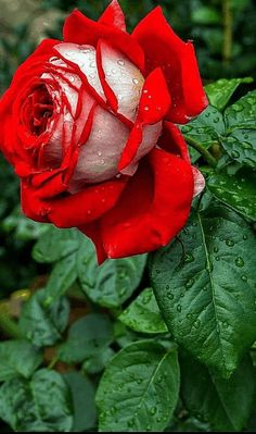 Find images and videos about gif on We Heart It - the app to get lost in what you love. Beautiful Flowers Wallpapers, Beautiful Rose Flowers, Beautiful Gif, Exotic Flowers, Rose Flower Wallpaper, Flowers Gif, Flowers For You, Good Morning Rose Images, Scenery Pictures