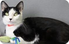 Blackwood, NJ - Domestic Shorthair. Meet Melania, a cat for adoption. http://www.adoptapet.com/pet/17285842-blackwood-new-jersey-cat