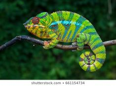 Our African Travel Specialists have selected the most amazing African safari experiences and travel tours around Africa. Colorful Lizards, Colorful Animals, Jungle Animals, Baby Animals, Cute Animals, Cute Reptiles, Reptiles And Amphibians, Chameleon Lizard, Easy Pets