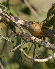 Found in North America, Europe, and Asia, the winter wren sometimes roosts communally when cold weather hits. Although unusual, roosting groups can be large; more than 30 wrens were found in one nest in Washington State.
