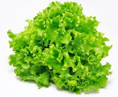 Lettuce or Lactuca sativa as it is known scientifically has first been cultivated by the Egyptians thousands of years ago. The Egyptians who cultivated lettuce first, used the seeds to produce oil and its leaves. The plant also had cultural and religious significance in ancient Egypt, as it was considered to be sacred. Later on the Greeks and Romans also cultivated it.