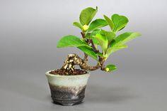ツルウメモドキ-M1(つるうめもどき・蔓梅擬)豆盆栽の販売と育て方・作り方・Celastrus orbiculatus bonsai