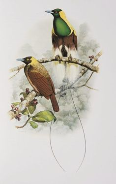 Male and female Emperor Bird of Paradise from the 'Rituals of Seduction: Birds of Paradise' exhibition.