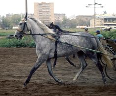 Rysak - Orlov trotter in training at Moscow racecourse.