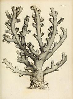 Exposition méthodique des genres de l'ordre des polypiers :. Paris :Agasse,1821.. biodiversitylibrary.org/page/11721360