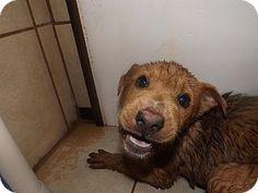 Adopted! Thomaston, GA - Hound (Unknown Type)/Shar Pei Mix. Meet Call of the Wild, a dog for adoption. http://www.adoptapet.com/pet/12329906-thomaston-georgia-hound-unknown-type-mix