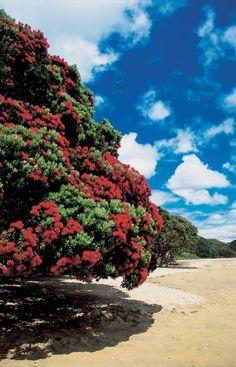 Blooming Pohutukawa, #KINAareFAT
