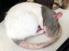 Animals And Pets, Cute Animals, Dumbo Rat, Fancy Rat, Twisters, Cute Rats, Cute Creatures, Rodents, My Animal