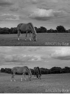 Ponies from New Forest
