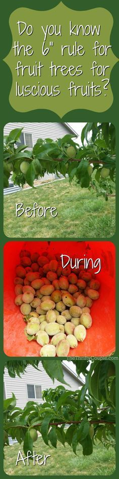 I am so glad I found out the easy trick and the 6-inch rule for my fruit trees. It has made all of the difference in the world and finally have flourishing, delicious fruits. This is one of those gardening tips to NOT MISS if you have fruit trees!