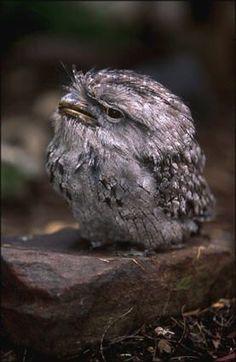Tawny Frogmouth Owl / Australia