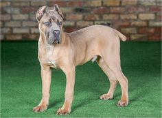 Cane Corso Puppies For Sale UK Blue Cane Corso – Protection Dog - - jpeg Blue Cane Corso Puppies, Cane Corso Dog, Puppies For Sale, Dogs And Puppies, Cane Corso For Sale, Nfl, Dog Costumes, Dog Accessories, Dog Walking