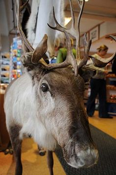 A reindeer in the middle of a local shop in Honningsvag, Norway...I wonder whether it is a china shop ?