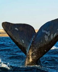 From whale watching to canopy tours our South Africa travel guide has everything you need to make your holiday an unforgettable adventure. South Africa Holidays, Give Me Five, Whale Tail, Humpback Whale, Whale Watching, Africa Travel, Countries Of The World, Whales, Cape Town