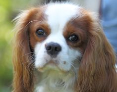 Zeus (Cavalier King Charles Spaniel) | Flickr - Photo Sharing! King Charles Spaniel, Cavalier King Charles, Pet Dogs, Pets, Anna, Photo And Video, Animals, Animales, Animaux