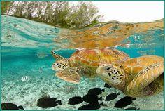 Blue wavy water and turtles.    Bora Bora   http://pixdaus.com/turtles-of-bora-bora/items/view/46413/