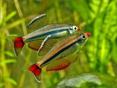 Tanichthys micagemmae (3) | Flickr - Photo Sharing!