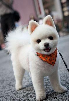 Pomeranian with a Shiba Inu haircut. Too cute for words.
