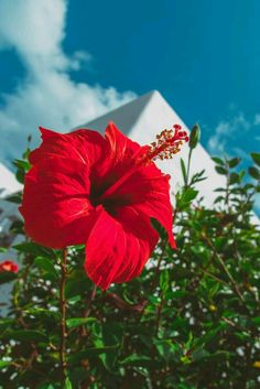 Hibiscus Flowers, Flowers Nature, Exotic Flowers, Tropical Flowers, Amazing Flowers, Beautiful Roses, Pretty Flowers, Beautiful Flowers Wallpapers, Cute Wallpapers