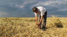 Devriye Haber : Edirne'de Buğday Tarlaları Yerle Bir Oldu