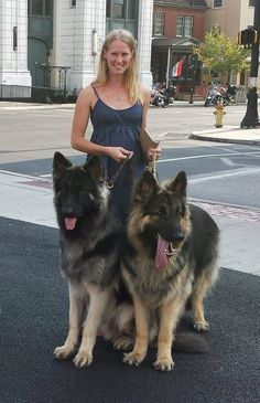 My boys being walked by Tara. Moses on the left, his 1/2 brother, Tripp on the right.