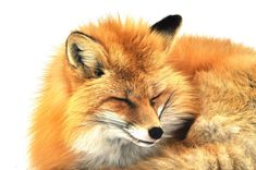 Red Fox by Pervaiz Iqbal on 500px