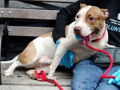 Manhattan Center   JADE - A0999763   FEMALE, WHITE / BROWN, PIT BULL, 2 yrs, 2 mos SEIZED - ONHOLDHERE, NO HOLD Reason ATT PEOPLE  Intake condition INJ MINOR Intake Date 05/14/2014, From NY 10456, DueOut Date 05/17/2014, I came in with Group/Litter #K14-177327. https://www.facebook.com/photo.php?fbid=804216736257874&set=a.617938651552351.1073741868.152876678058553&type=3&theater